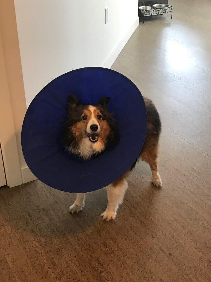Dog Cone Alternatives. Blue collar dog on wooden floor
